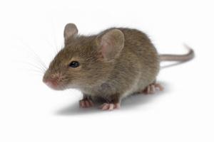 уничтожение мышей во пскове
