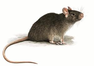 Уничтожить крыс в пскове